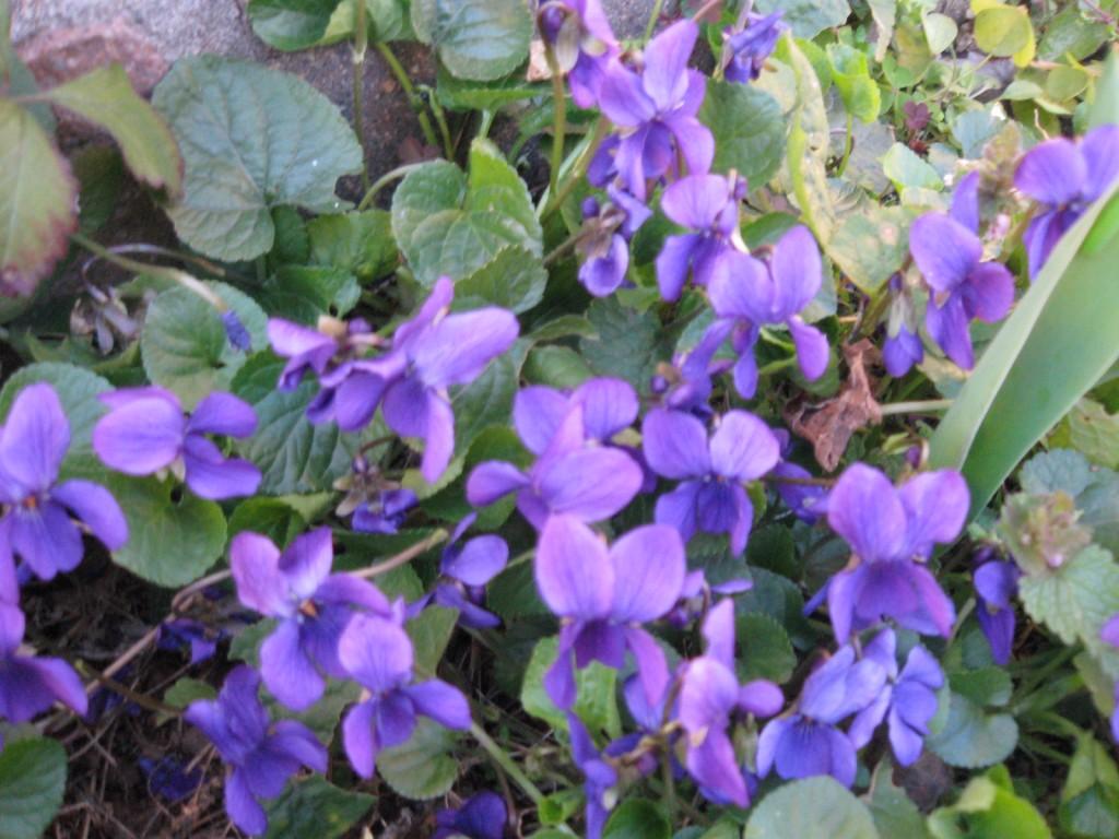 Arredare con i fiori la viola o violetta l 39 iris la for Fiori con la l