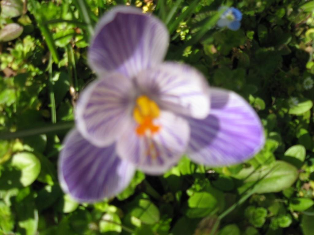 Arredare con i fiori la viola o violetta l 39 iris la for Arredare con fiori finti